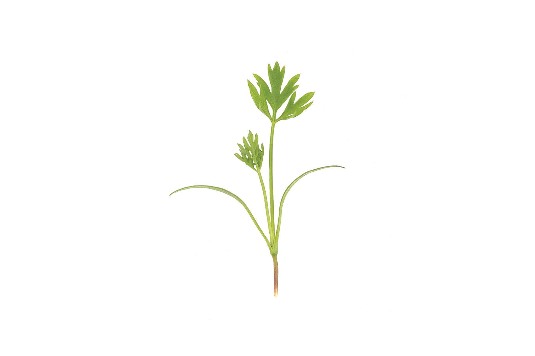 Carrot Top.jpg