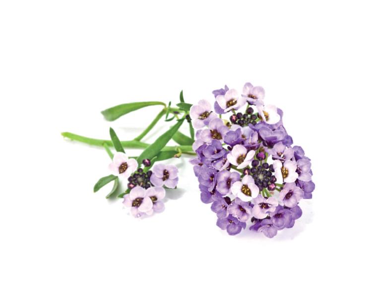 sweet alyssum purple.jpg