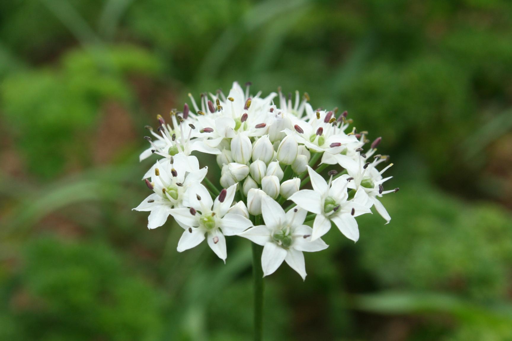 Chive Flower.JPG