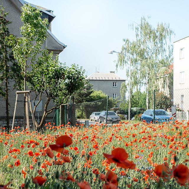 A pak že louky do města nepatří. Z téhle květnaté v areálu VŠ kolejí v Olomouci máme radost. Vše postupně vzniká v rámci studie, kterou jsme zhotovili pro @koleje_menzy_olomouc 🐜🥀🦗🥀🐝🥀 #flowermeadow #flowers #love  #animals #city