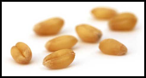 Wheat Seed.jpg