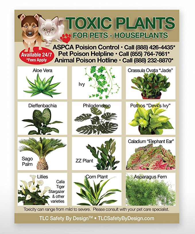 house-plants-toxic-to-dogs-wondrous-amazon-set-of-3-toxic-amp-safe-foods-toxic-plants-amp-toxic-foods-of-house-plants-toxic-to-dogs.jpg
