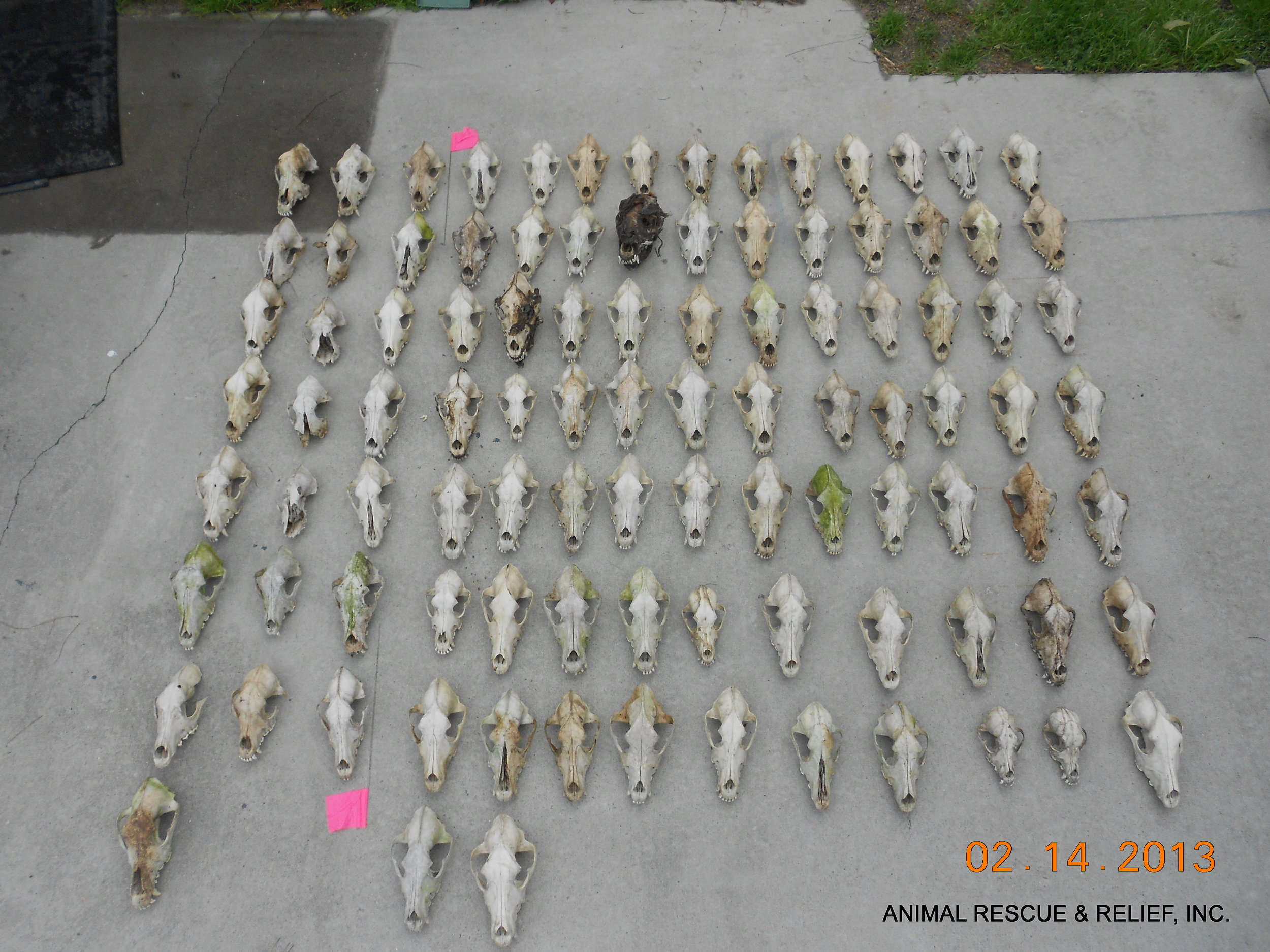 Haunting image of 101 dog skulls recovered on scene.  More than 200 remains were discovered.