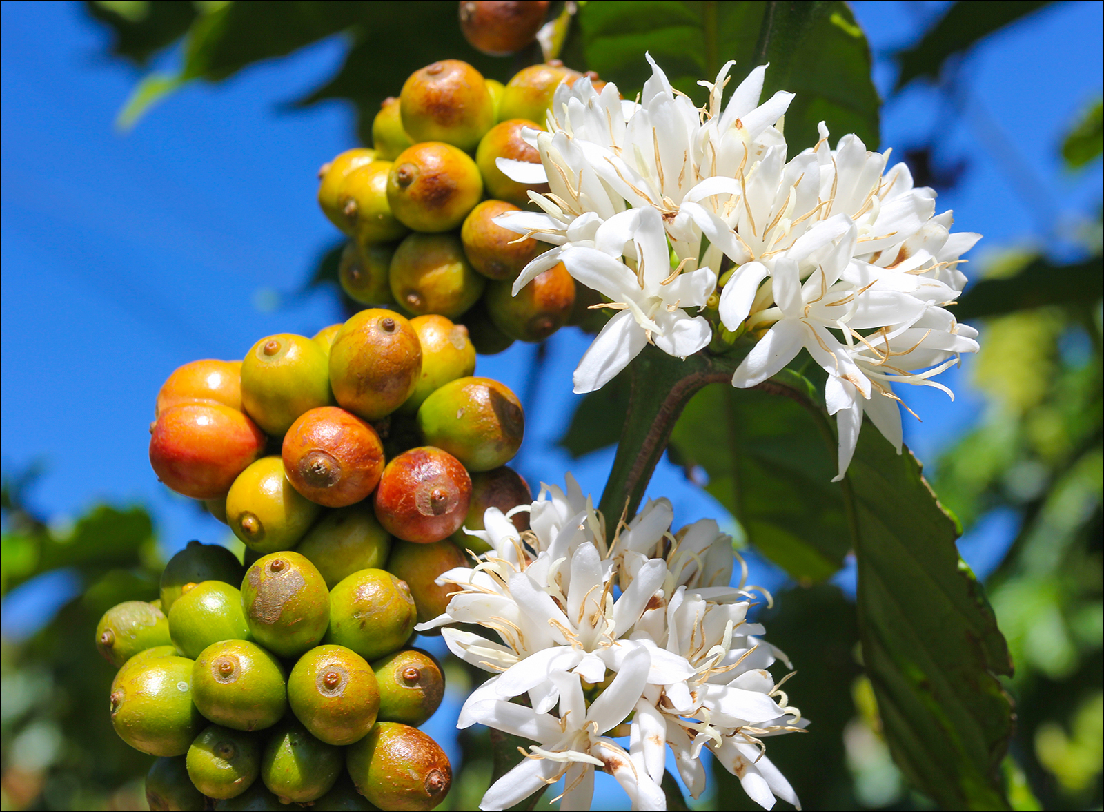About-Coffee-Plant_546634210.jpg