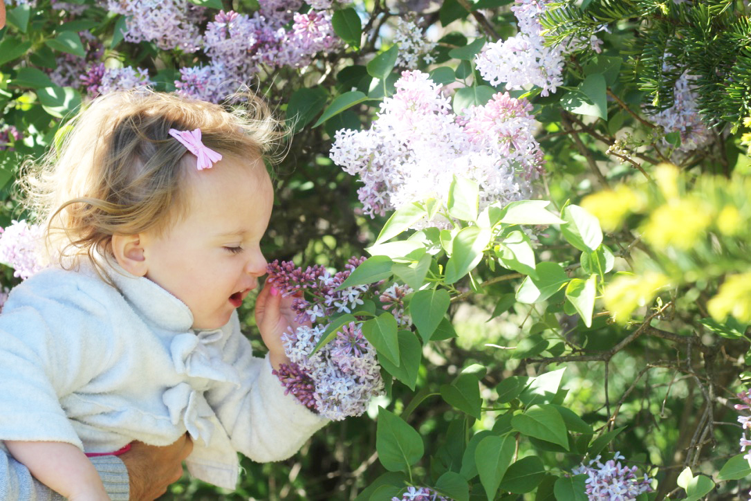 Tulip Time Festival So Dressed Up, Lilacs