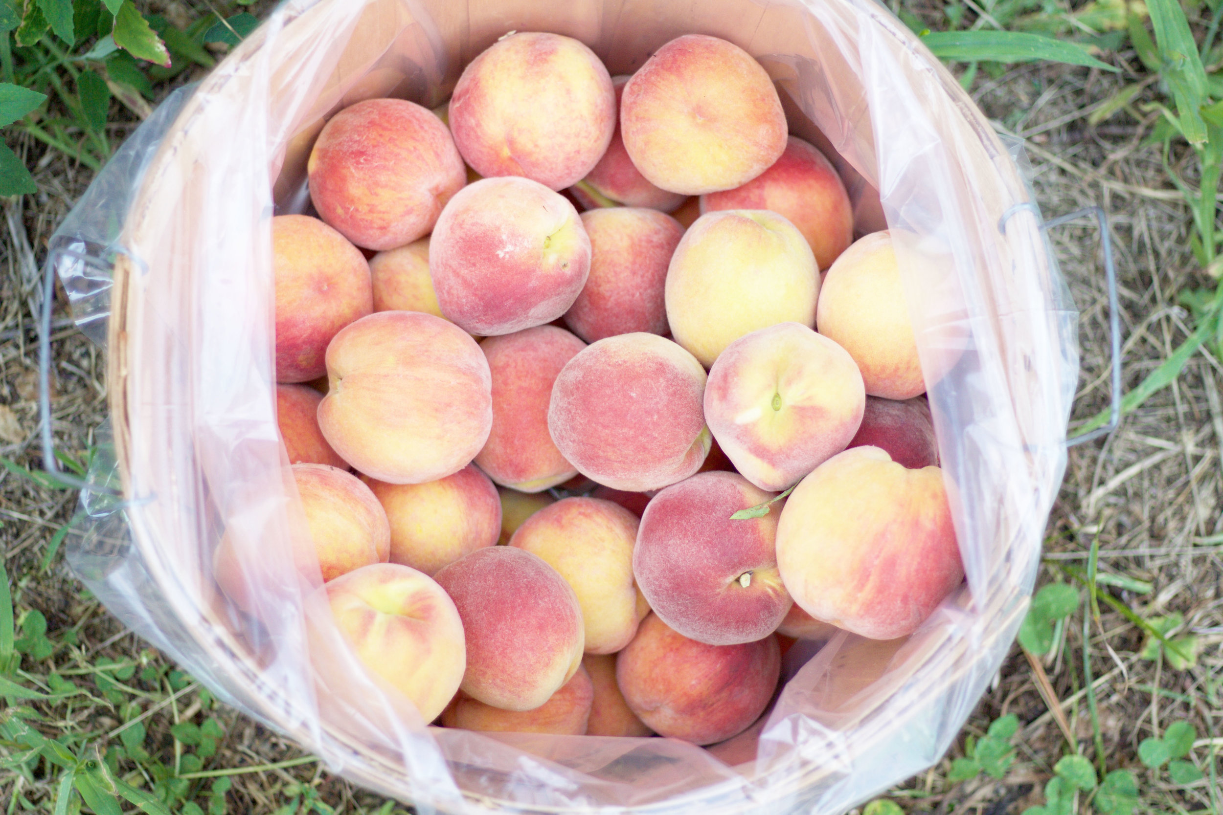 Delicious Peaches, Peach Picking So Dressed Up