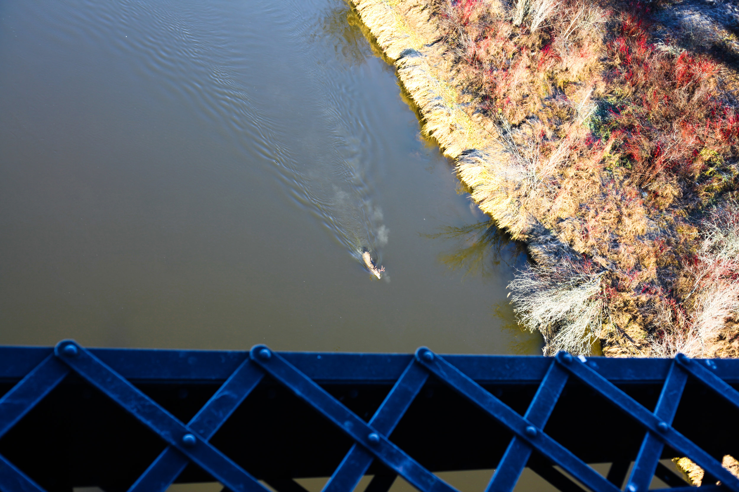 Deer swimming in Beaver River