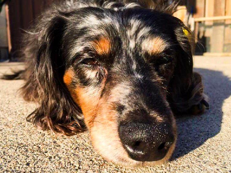 barks_&_recreation_Fargo_ND_Dog_Sitting_Pet_Sitting_Doxie_Sun.jpg