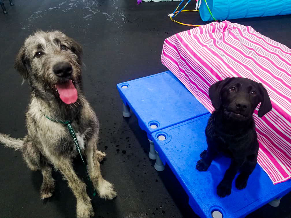 barks_&_recreation_Fargo_ND_Dog_Daycare_Enrichment_Klimb_sit_wolfhound.jpg