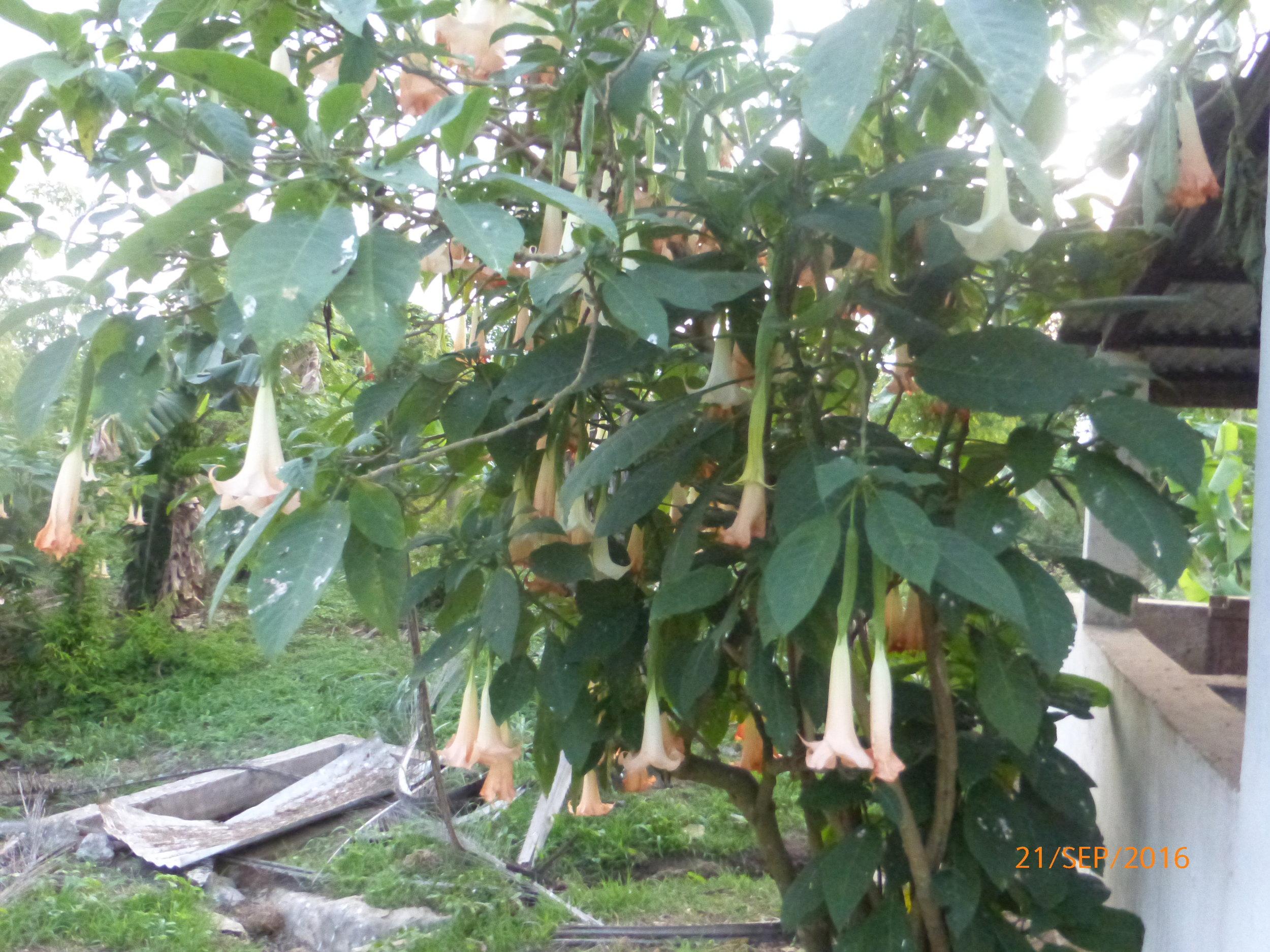 Brugmansia candida, Solanaceae