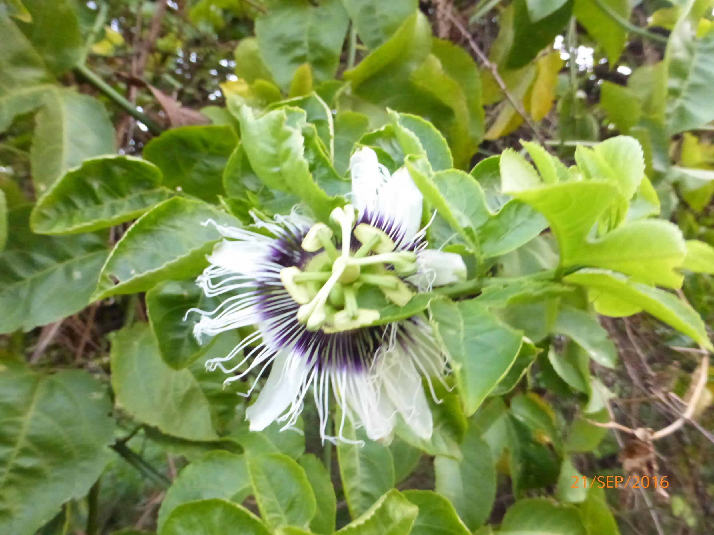 Passiflora edulis, maracuja, fleur de la passion