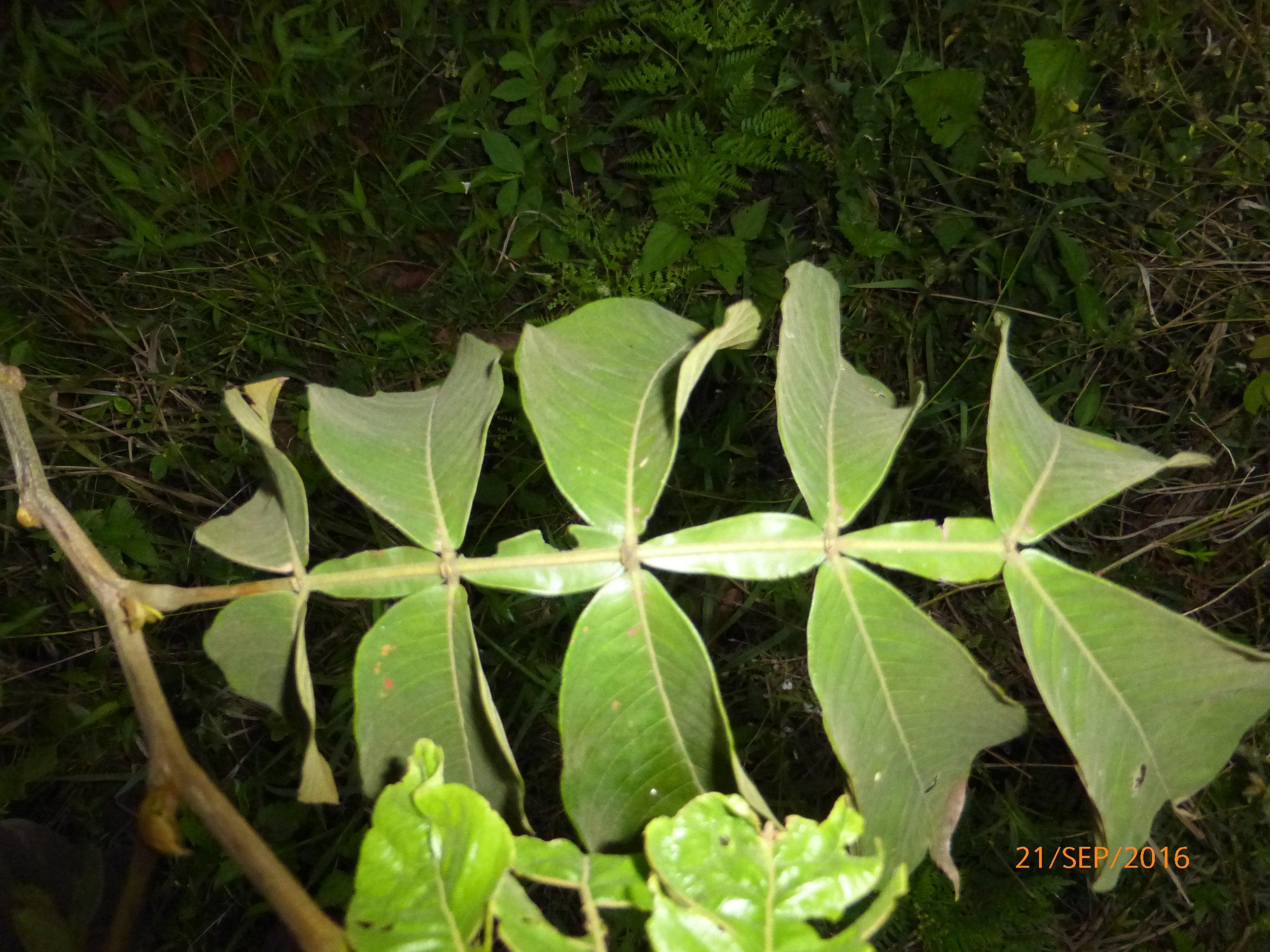 Inga edulis, Fabaceae-Mimosoideae