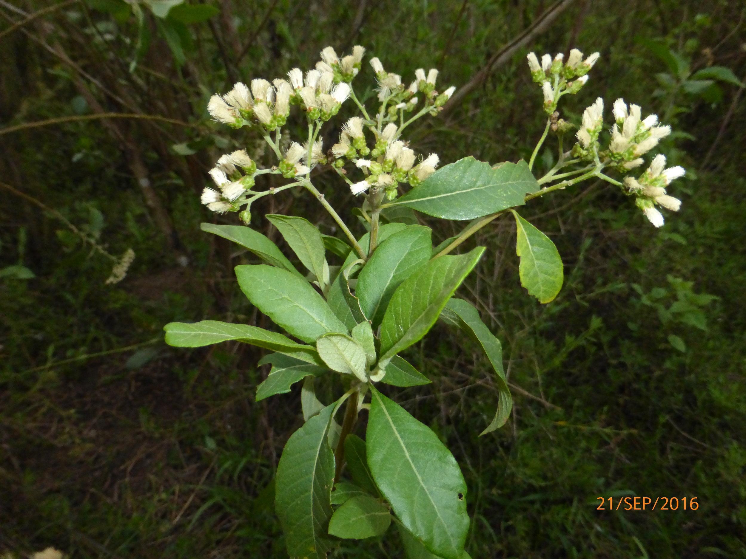 Vernonia amygdalina, ndollé