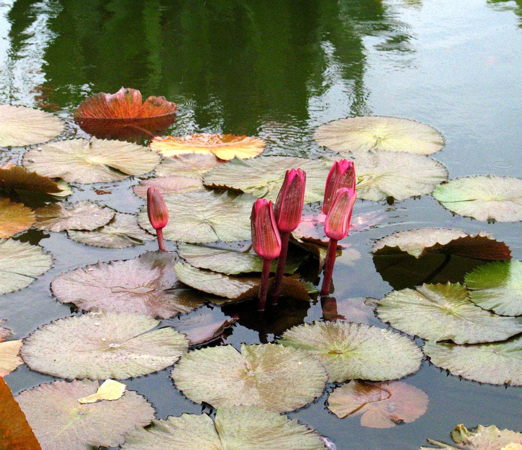 CK red pond flowers.jpg