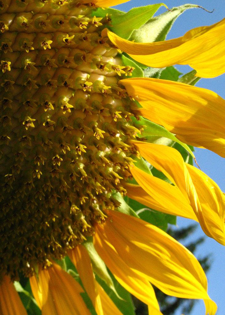 CK sunflower.jpg