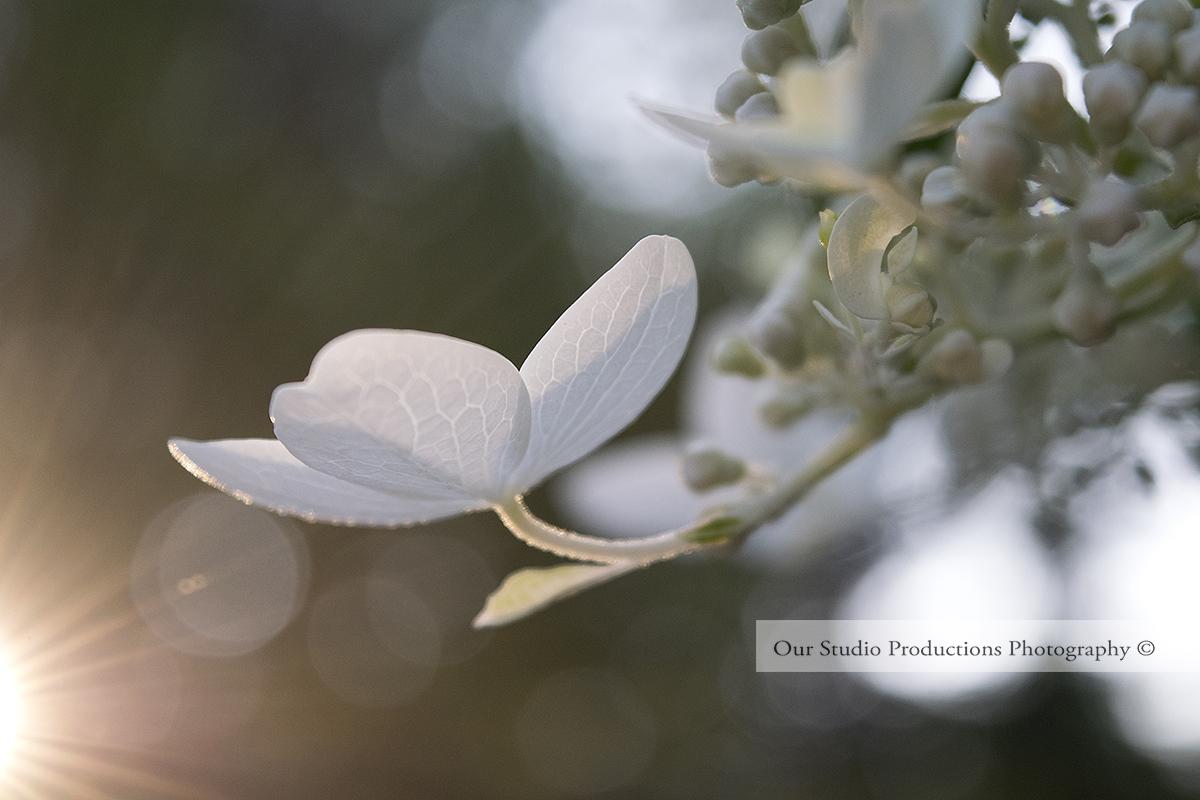 White Hydrangea Bloom Stock Photo