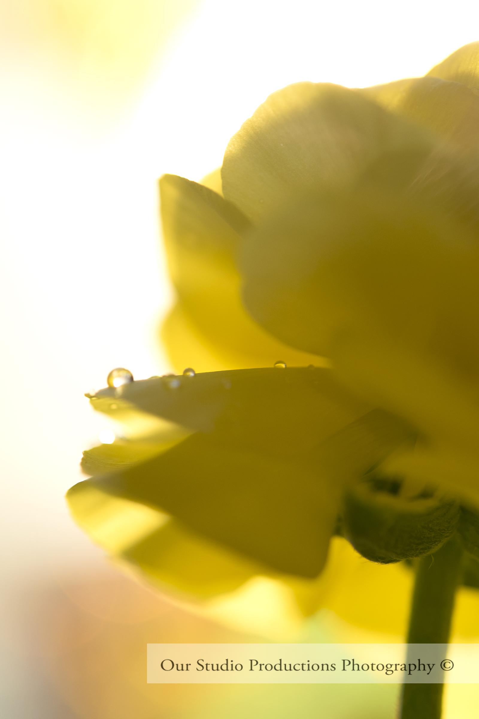 Ranunculus Buttercup Yellow