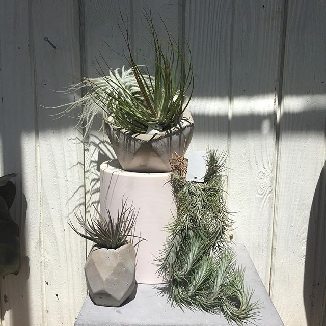 Big restock on airplants + airplant holders. The tillandsia genus is incredible! Lots of unique beauties to admire🥰✨New perennials & annuals in stock with fresh houseplants coming tomorrow!🌀🍃🌞