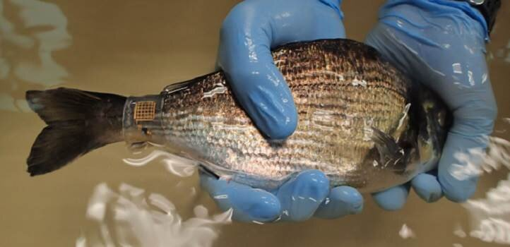 The new version of Marine Skin shown attached to a sea bream. Credit: © 2019 KAUST