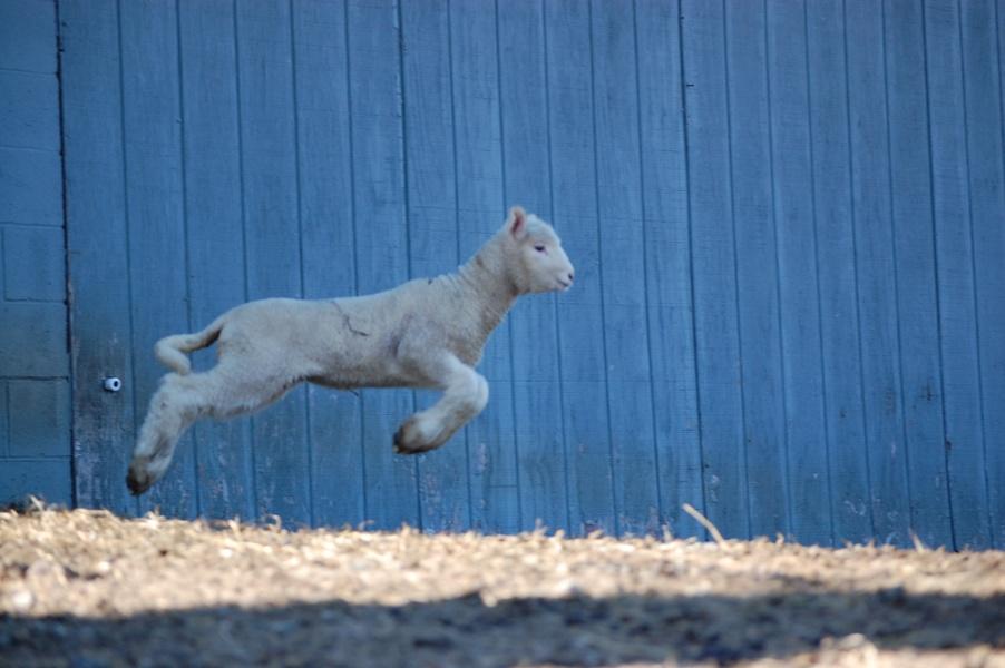 Bouncing Lamb II.JPG
