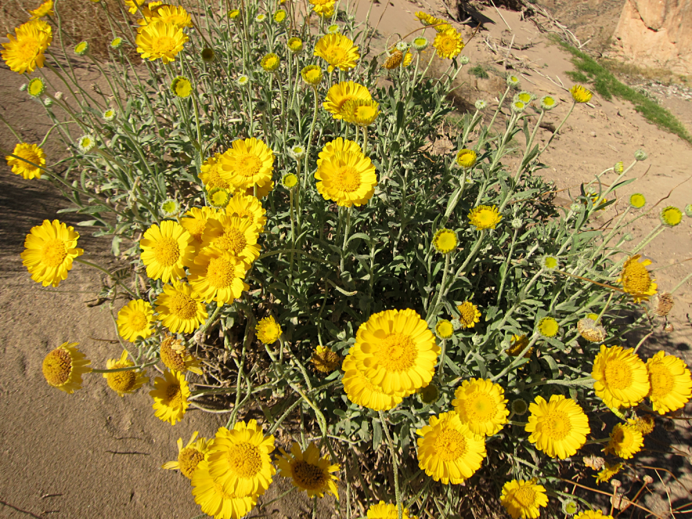 BigBend_DesertMarigold