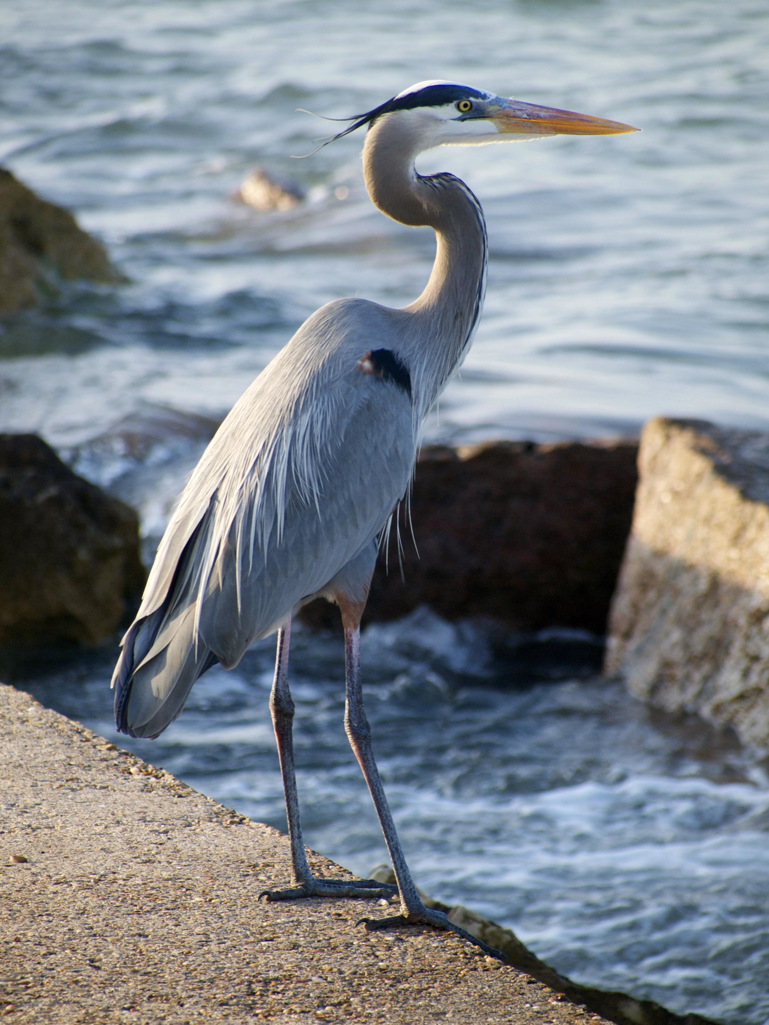 Great Blue Heron - Photo by Tim Giller