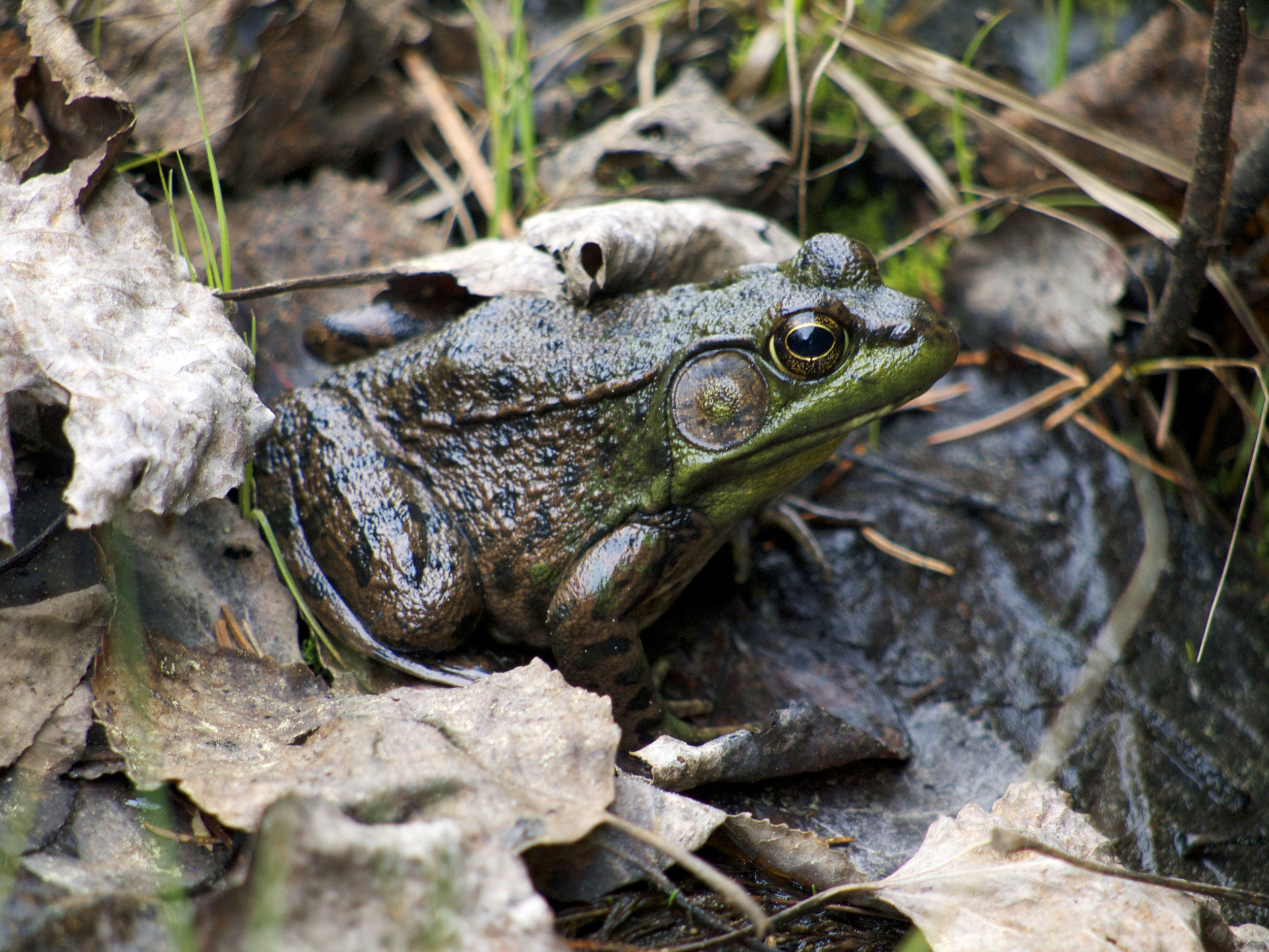 Frog, Algonquin P.P. Ontario - Photo by Tim Giller