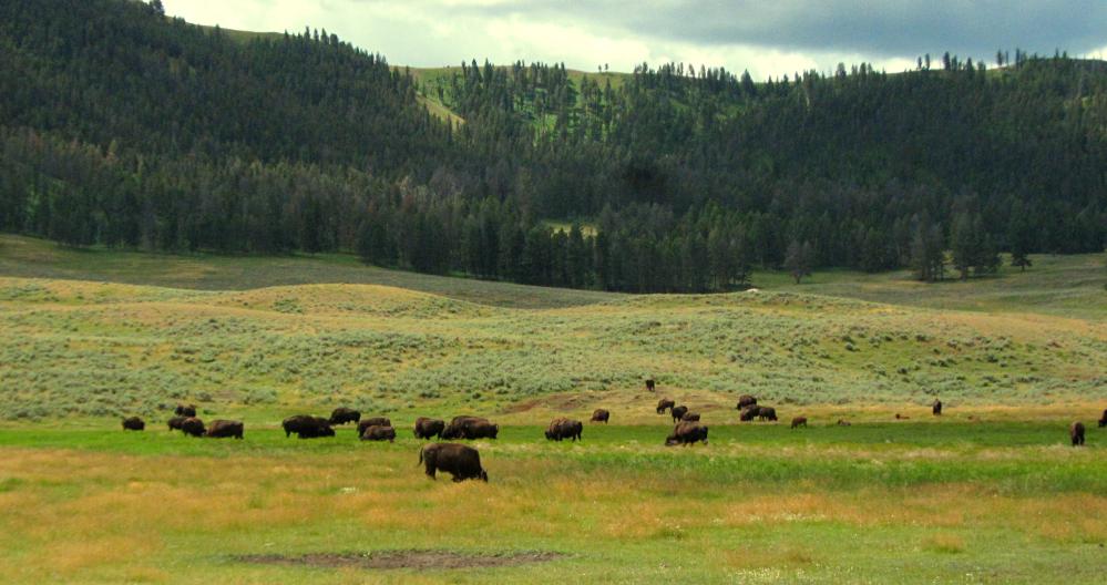 Yellowstone_Bison