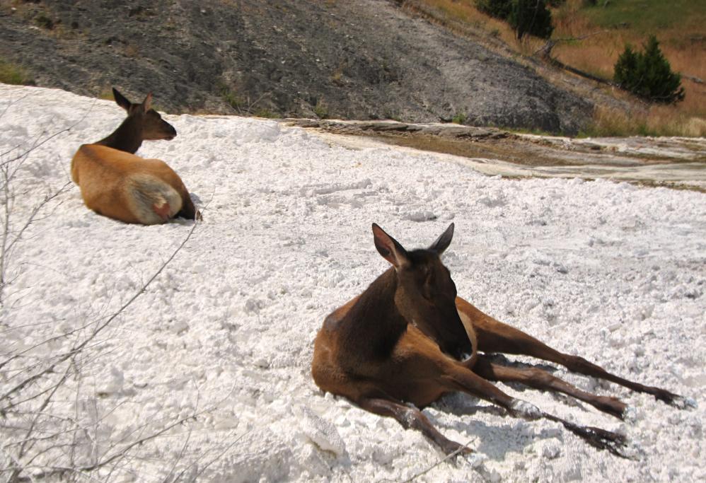 Yellowstone_Elk