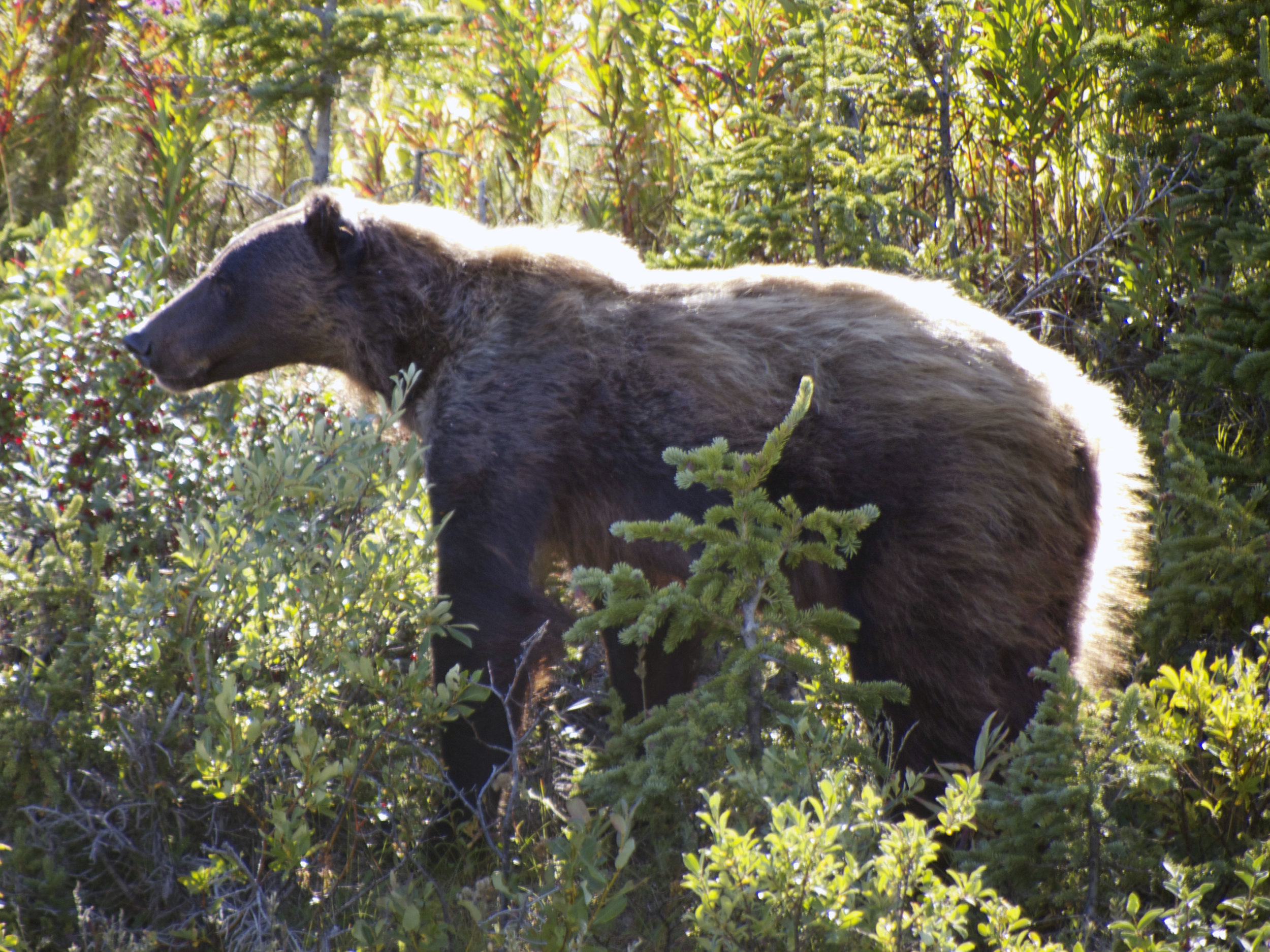 Roadside Grizzly, Yukon Territory - Photo by Tim Giller