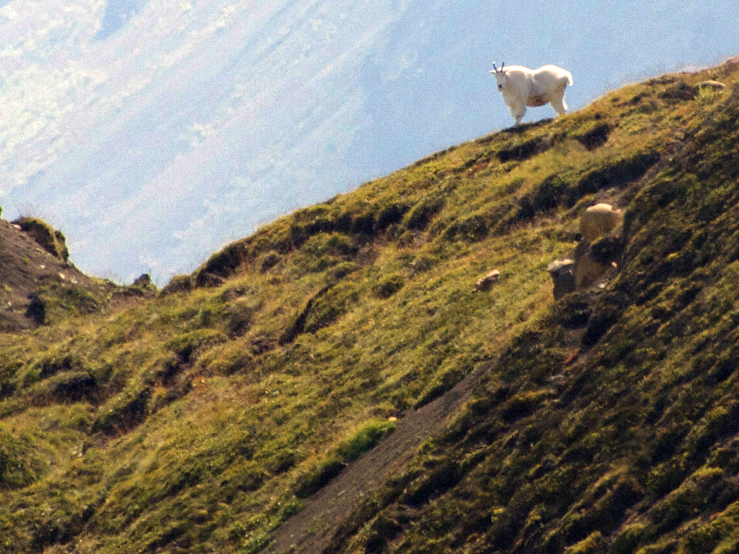 Mountain Goat, Wrangell-St Elias NP - Photo by Tim Giller