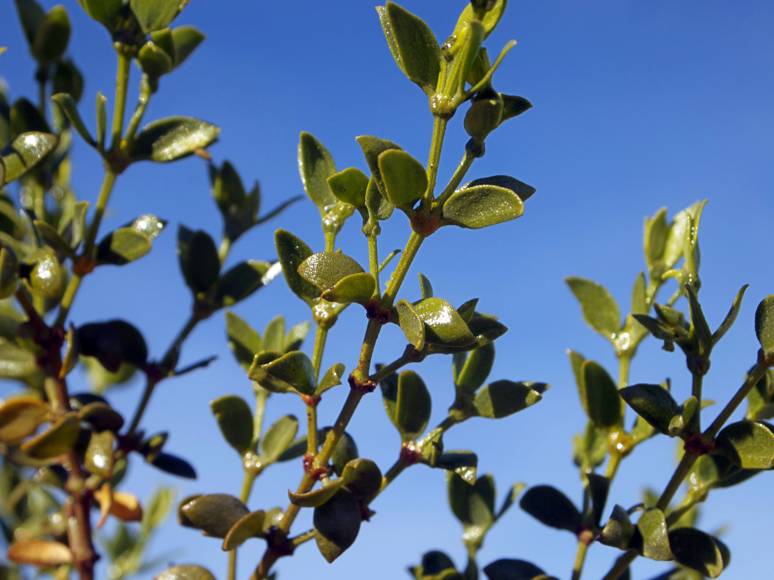 Creosote Leaves - Photo by Tim Giller