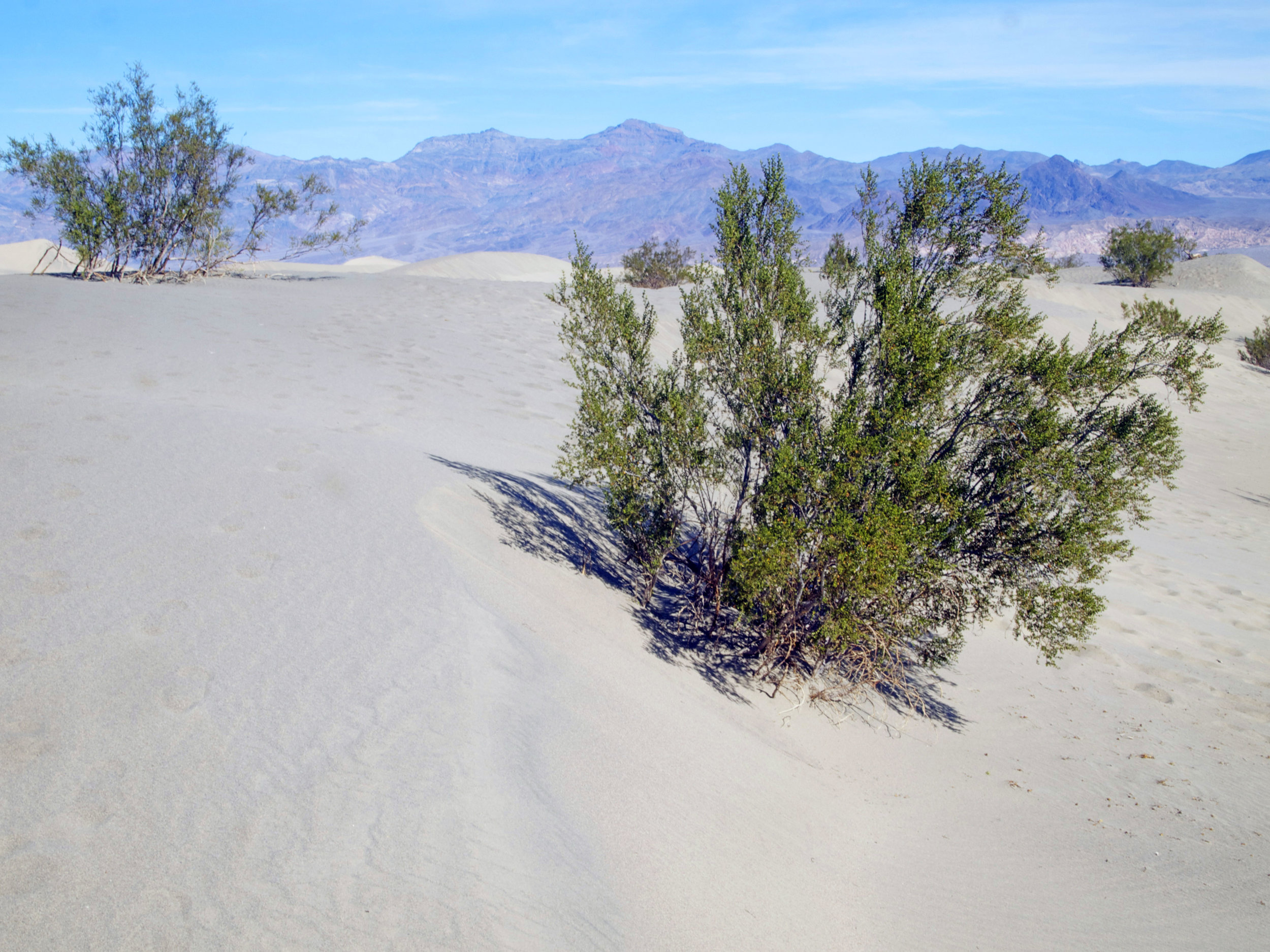 Creosote bushes, Death Valley - Photo by Tim Giller