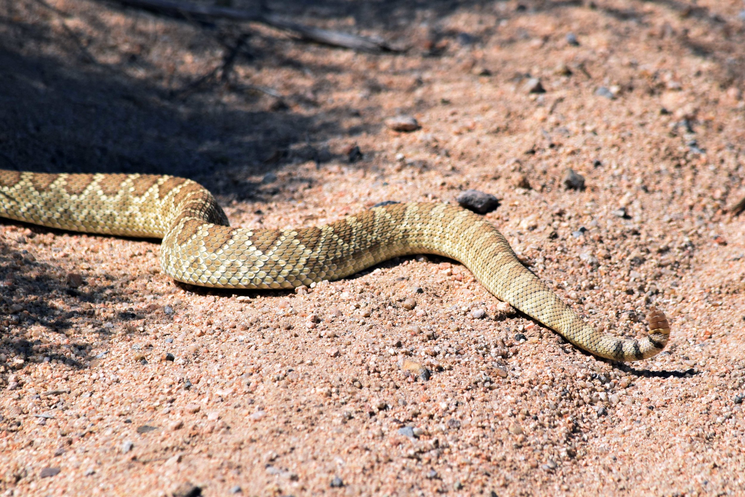 Mojave Green Rattlesnake - Photo by Tim Giller