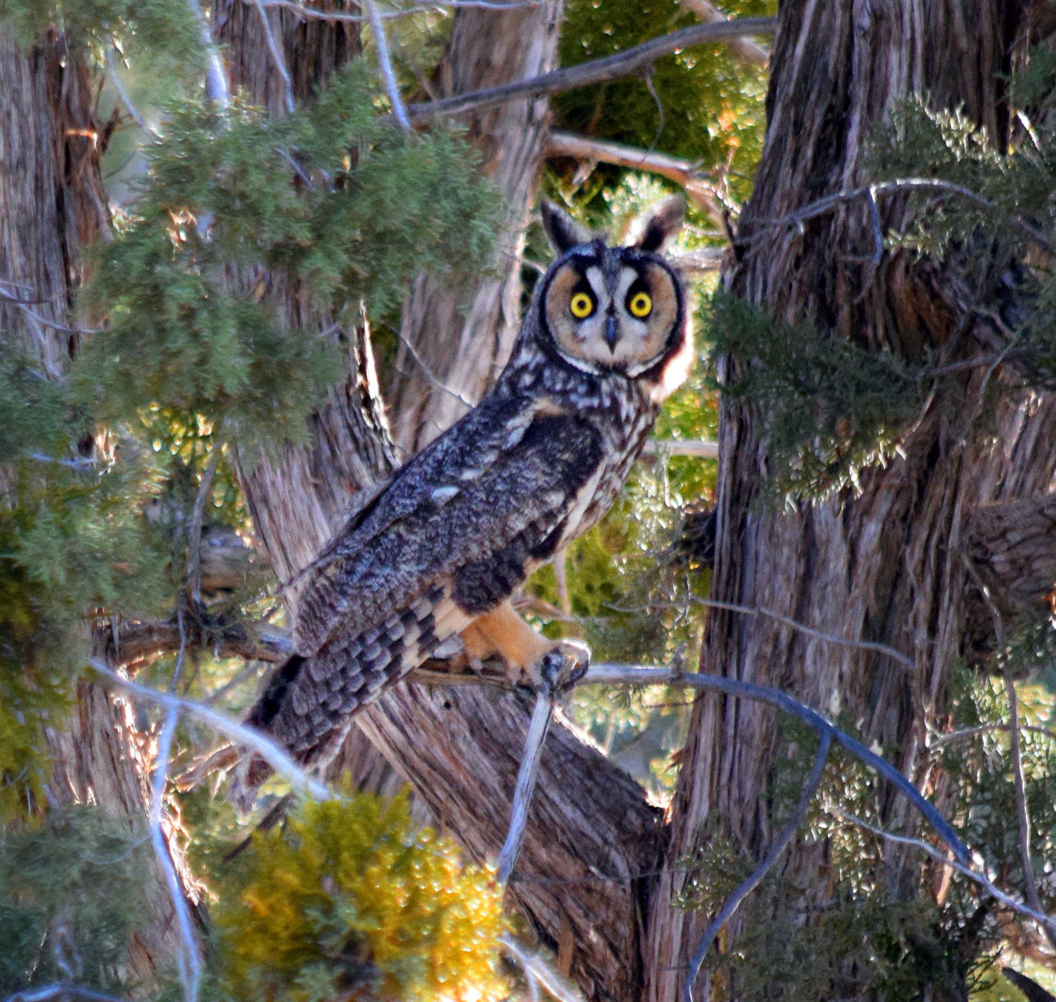 Long-eared Owl - Photo by Tim Giller