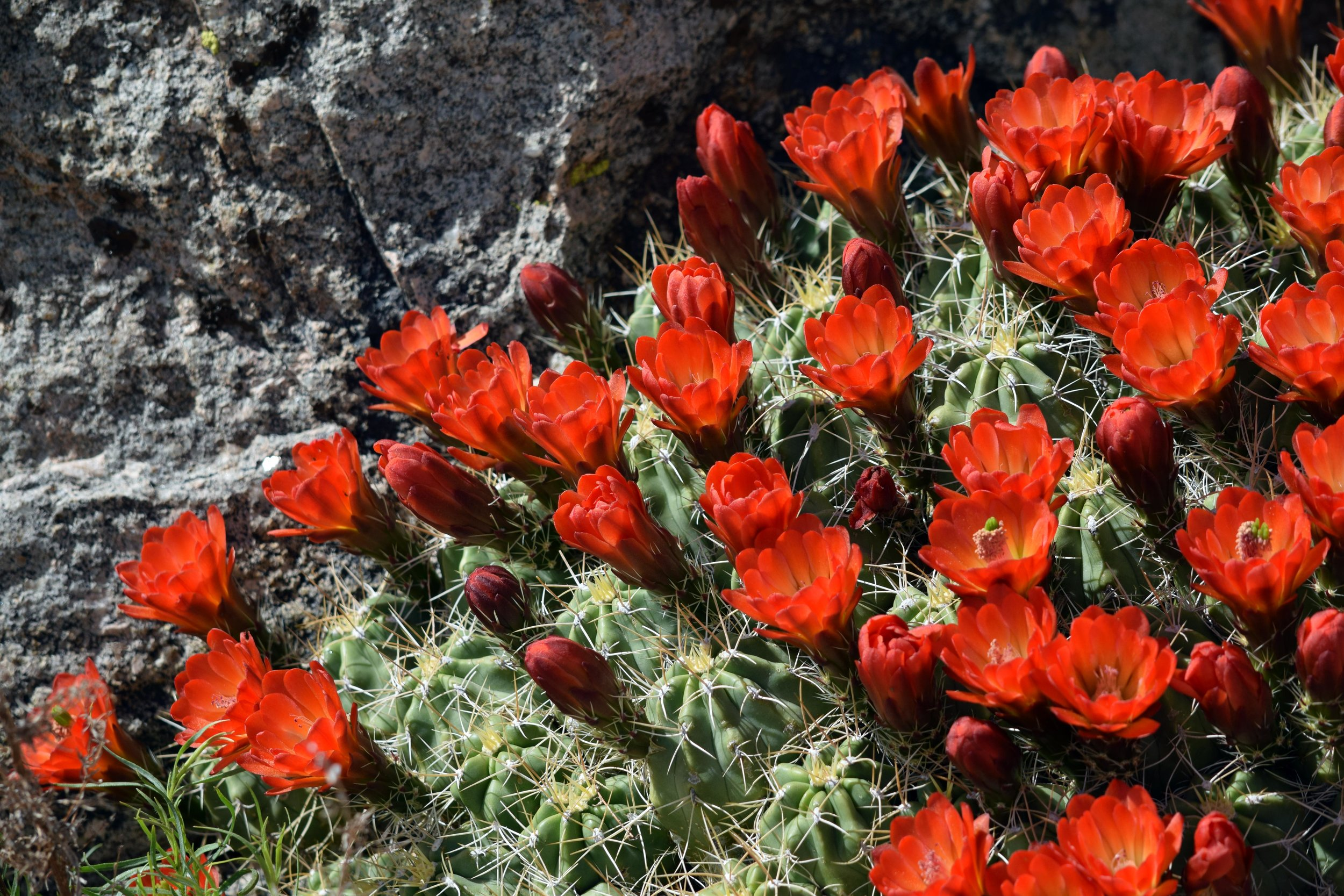 Mojave Mound Cactus - Photo by Tim Giller