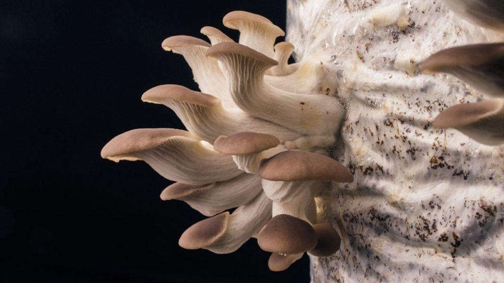Oyster-mushrooms-growing-1024x576.jpg