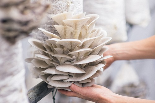 Bouquet-of-Oyster-Mushrooms-Ready-For-Harvest.jpg
