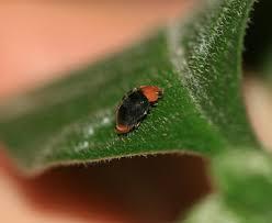 Mealybug Ladybug.jpg