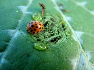 28-spotted-ladybeetle.jpg