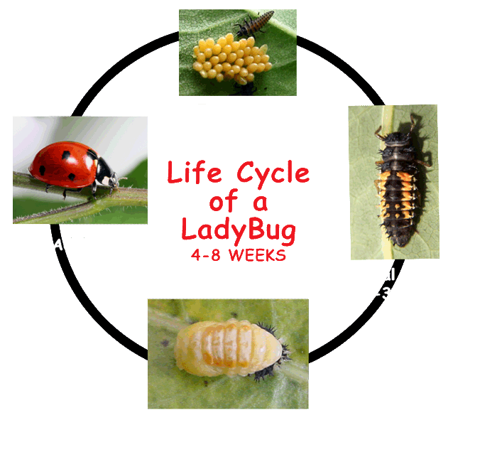 LadybugLifecycle2.png