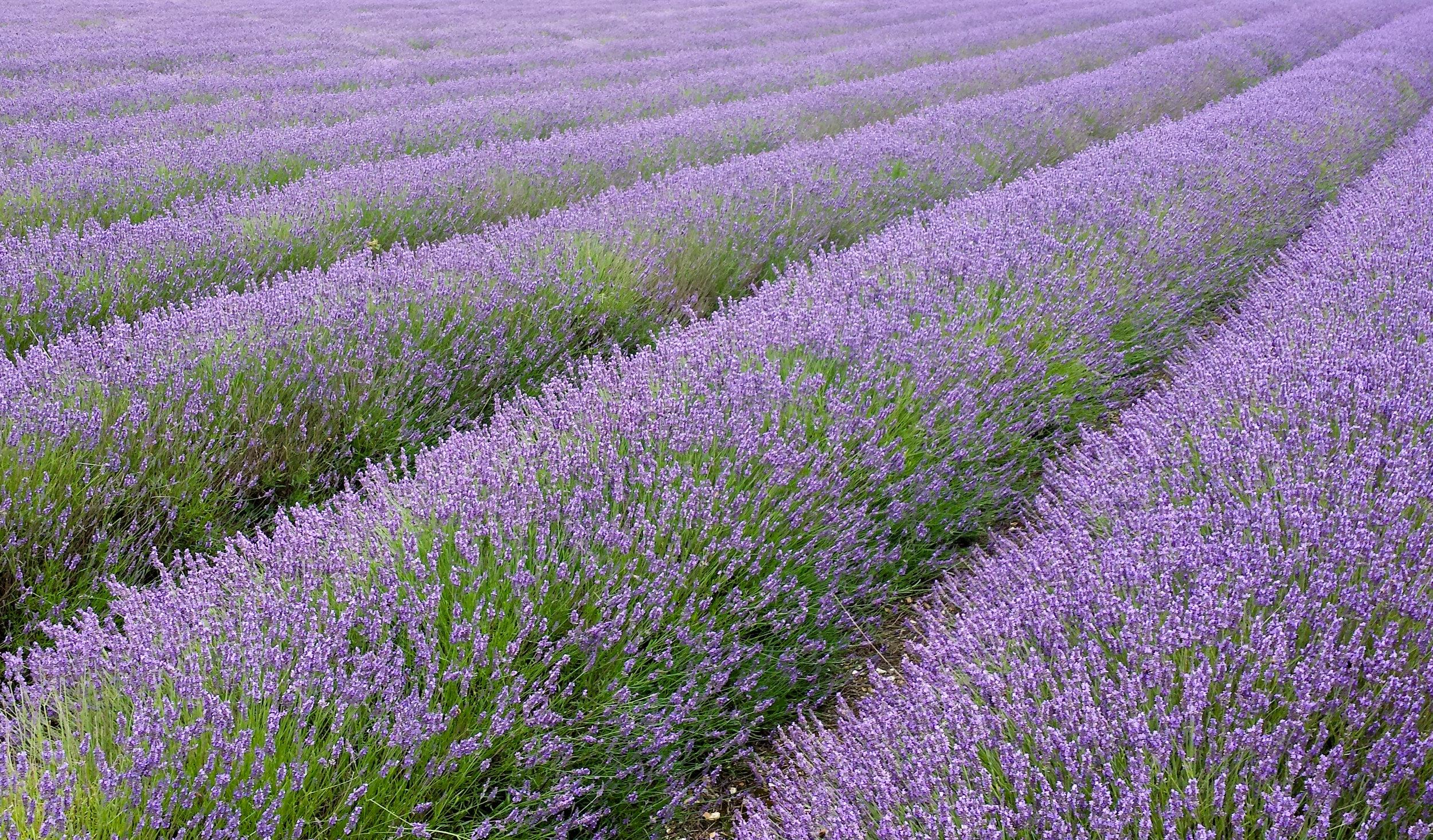 Hitchin_lavender_fields.jpg