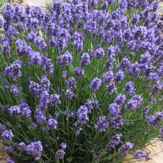 english lavender.jpg