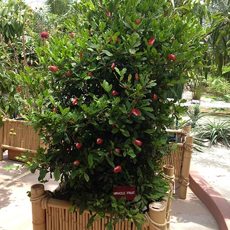miracle-berry-fruit-450w.jpg