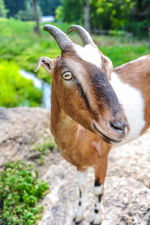 Farm Animals Asheville