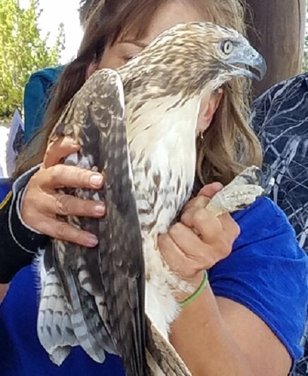 Female Red-tail Hawk that had been rehabilitated after a car accident.