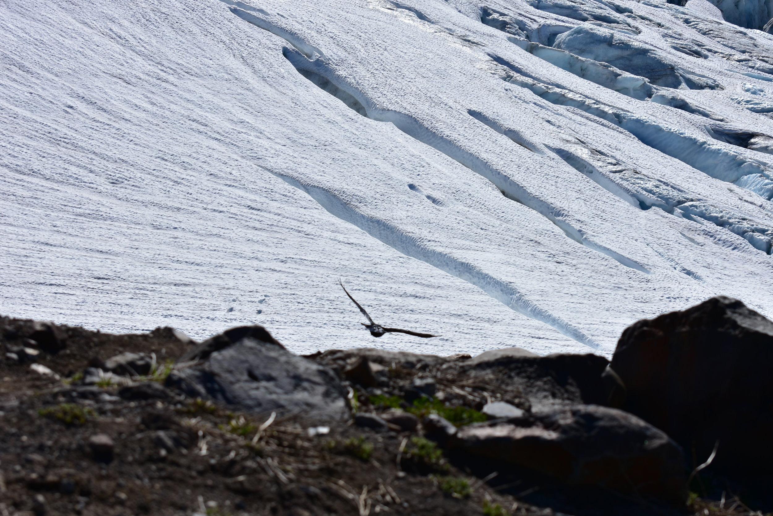 Ravens cross crevasses better than I