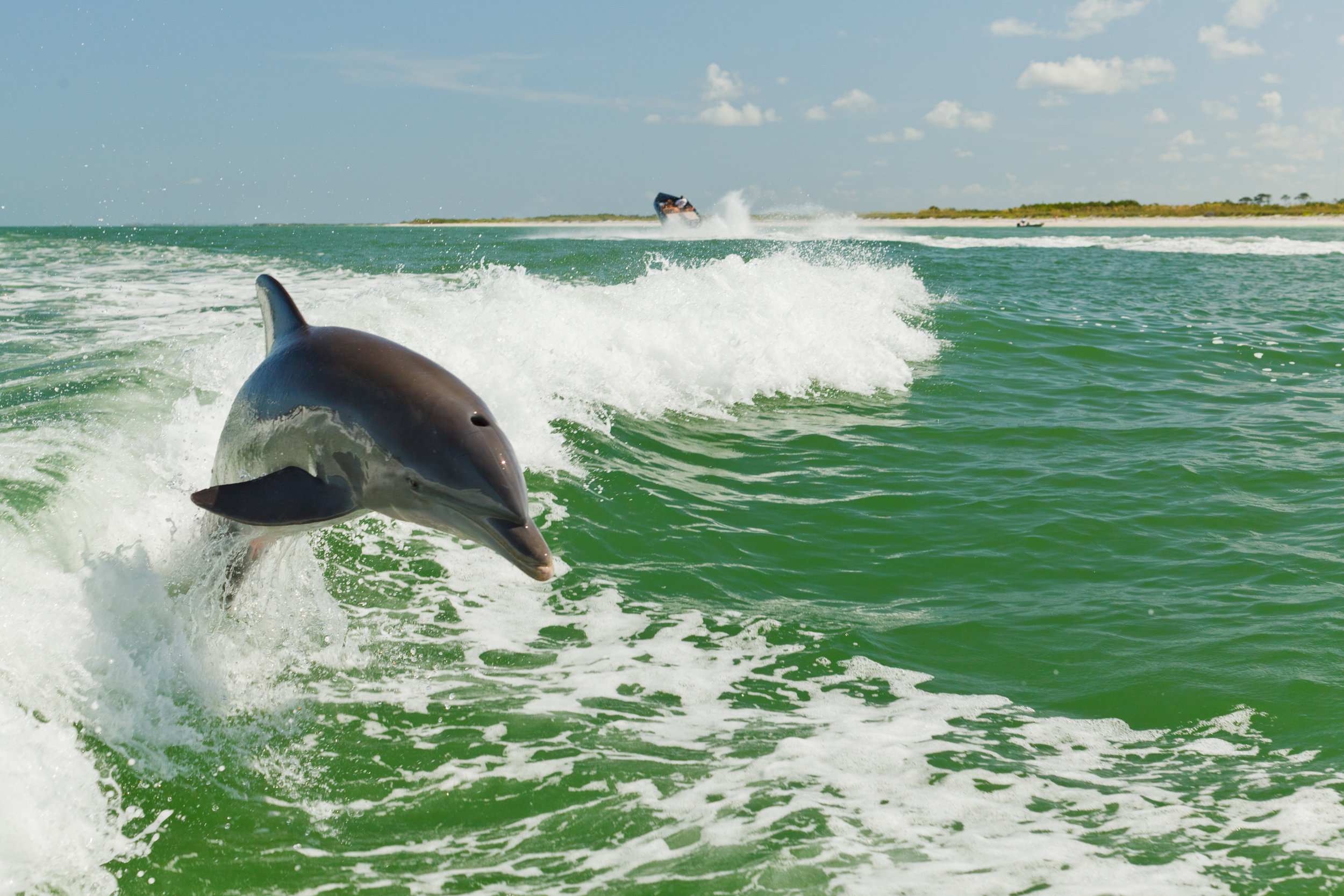 Courtesy_of_Visit_St._Pete_Clearwater_-_Wild_Dolphin.jpg