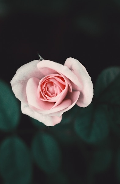 When to prune roses in Atanta