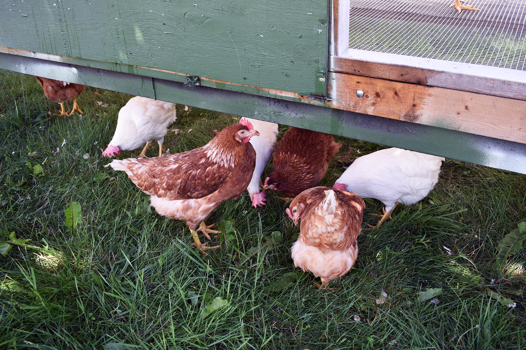 Your Farms Free Range Chickens